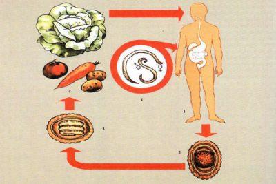 Жизненный цикл развития аскариды
