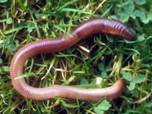 Строение дождевого червя. Дождевой червь: образ жизни, среда обитания и польза для почвы Какая кожа у дождевого червя