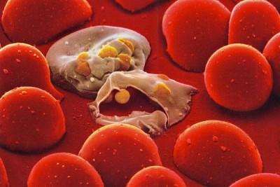 Чем питается малярийный плазмодий