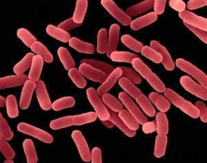 Понижены лактобактерии в анализе кала