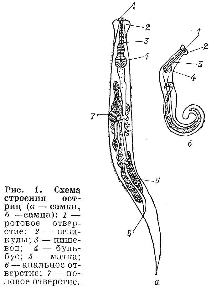 Особенности пищеварительной системы круглых червей